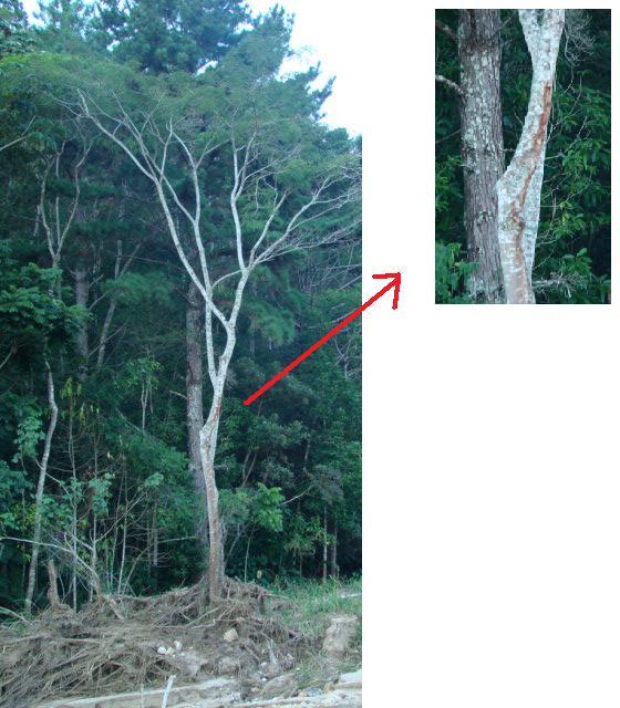 Árvore encontrada 20 Km adentro do Vale do Cuiabá